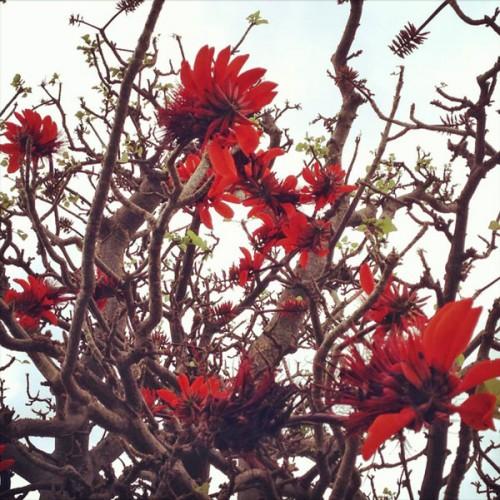 デイゴの花