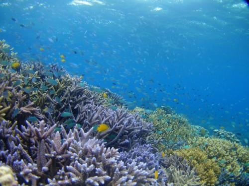 石垣島の珊瑚の群生。