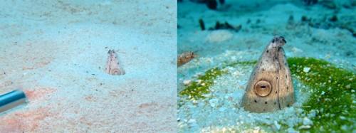 ミナミホタテウミヘビ幼魚