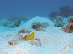 ギンガハゼ幼魚