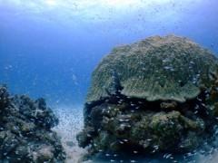 大きなハマサンゴ