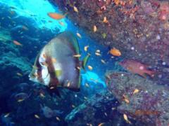 アカククリとキンギョハナダイ幼魚