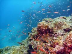 アカネハナゴイ幼魚