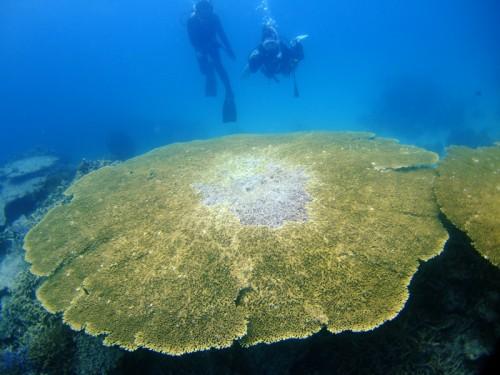 大きなテープルサンゴ
