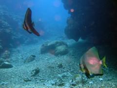 ツパメウオ幼魚とアカククリ