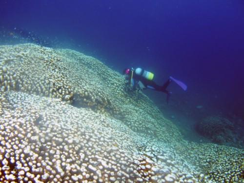 コモンシコロサンゴ群生