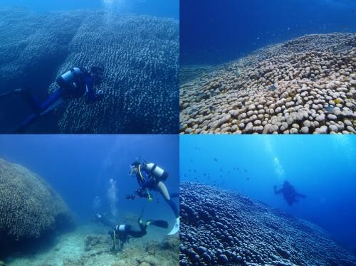 コモンシコロサンゴ群生 名蔵湾