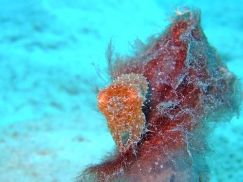 コブシメ幼魚