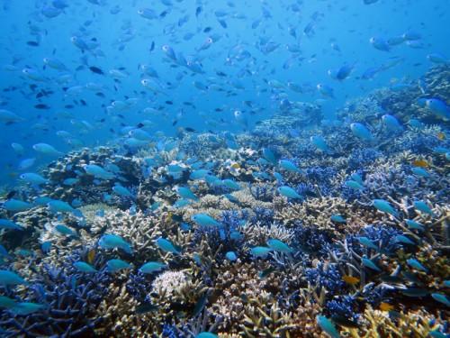 珊瑚とデバスズメダイ群