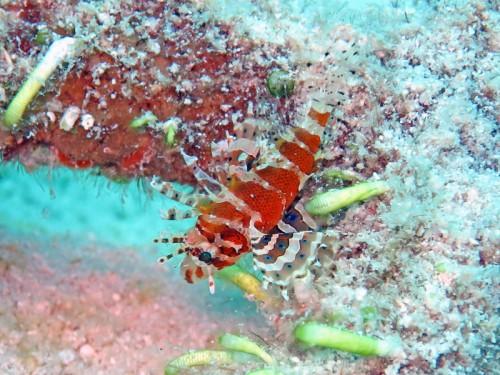 シマヒメヤマノカミ幼魚