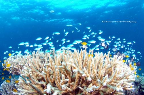 珊瑚とデバスズメダイ