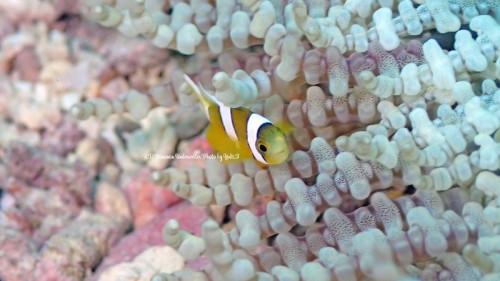 R.D.Bananan-Underwater-Photo-by-Yuki.F51
